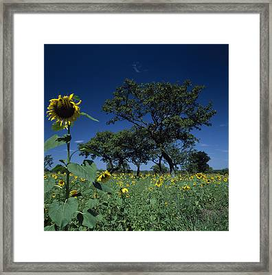 Shea Trees Intercropped With Sunflowers Framed Print by David Pluth