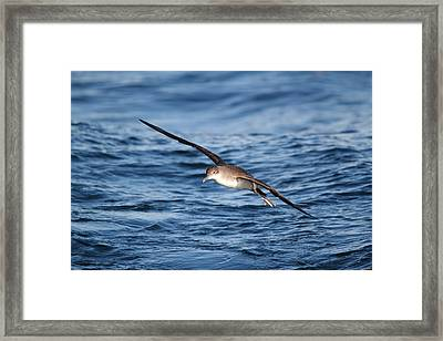 Framed Print featuring the photograph Shearwater by Richard Patmore