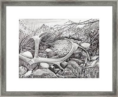 Shed Antler Framed Print