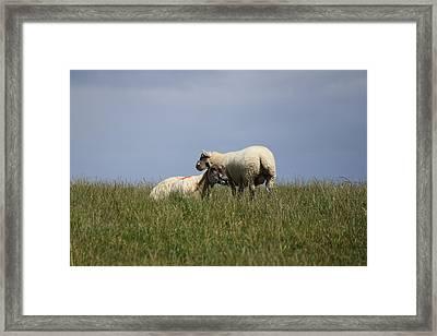 Sheep 4221 Framed Print