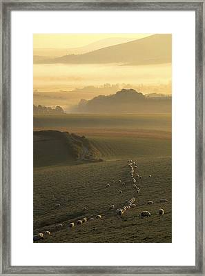 Sheep And Misty South Downs Framed Print