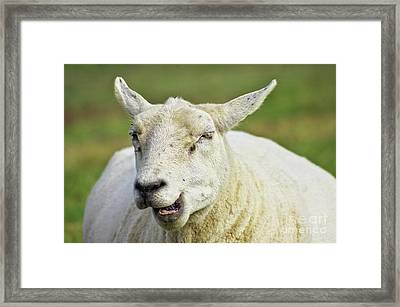 Sheep Framed Print by Angela Doelling AD DESIGN Photo and PhotoArt