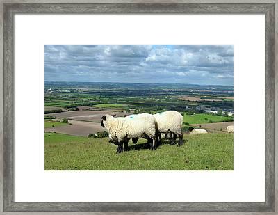 Sheep At Westbury Tor Framed Print by Kurt Van Wagner