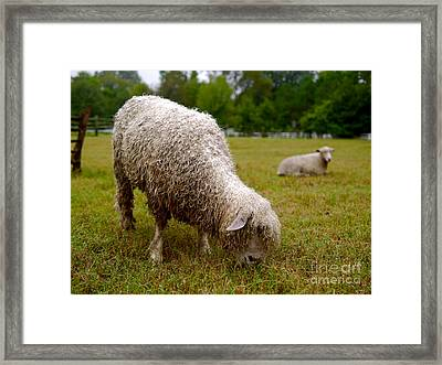 Sheep Begin A New Day Framed Print