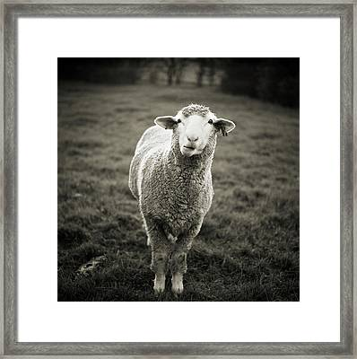 Sheep Chewing Cud Framed Print by Danielle D. Hughson