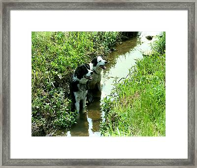 Sheep Dogs Framed Print by Barry Shaffer