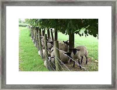 Sheep Finding Shade Framed Print by Russell Binns