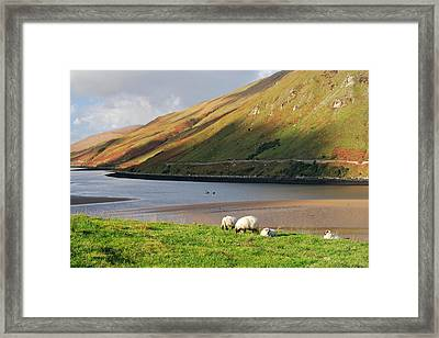 Sheep Grazing In Connemara Ireland Framed Print by Pierre Leclerc Photography