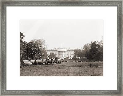 Sheep Grazing On The White House Lawn Framed Print by Everett