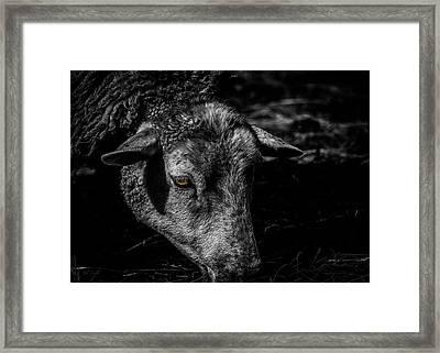 Sheep Head Framed Print by Bob Orsillo