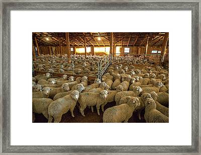 Sheep Huddled Together Framed Print by Todd Klassy