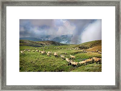 Sheep In Carphatian Mountains Framed Print