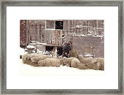 Sheep In Underhill Vermont. Framed Print by George Robinson