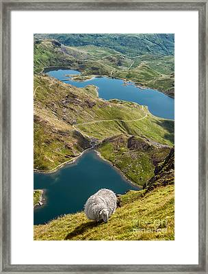 Sheep Of Snowdonia Framed Print by Adrian Evans