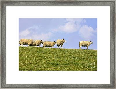 Sheep On Dyke Framed Print by Patricia Hofmeester
