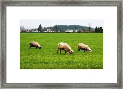 Sheep On The Range Framed Print by Cathie Tyler