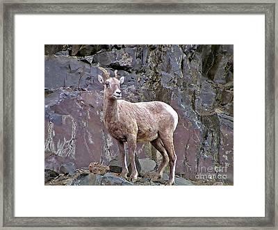 Sheep On The Rocks Framed Print by Mel Manning