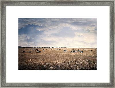 Sheep Sunset Framed Print by Ash Robinson