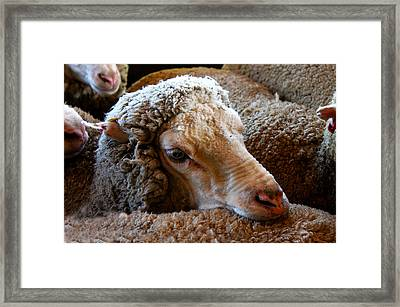 Sheep To Be Sheared Framed Print by Susan Vineyard