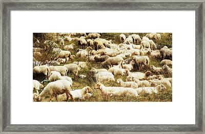 Sheep Framed Print by Vittorio Chiampan
