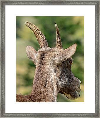 Framed Print featuring the photograph Sheepish Look by Bruce Gourley
