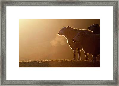 Sheeps Breath Framed Print by Peter Chadwick LRPS