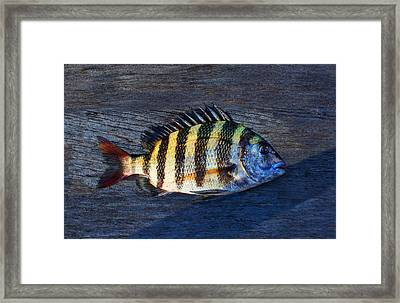 Sheepshead Fish Framed Print by Laura Fasulo