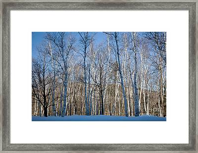 Shelburne Birches In Snow Framed Print