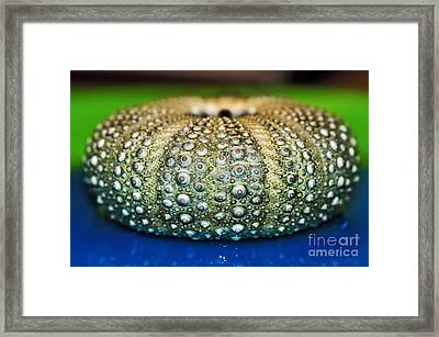 Shell With Pimples Framed Print by Kaye Menner