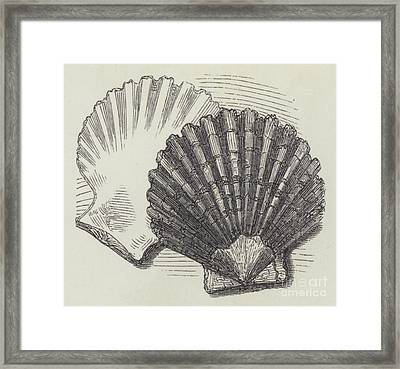 Shells Framed Print by English School