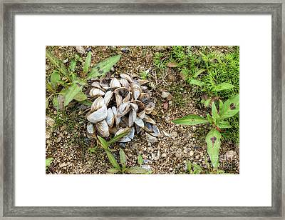 Framed Print featuring the photograph Shells Of Freshwater Mussels by Michal Boubin