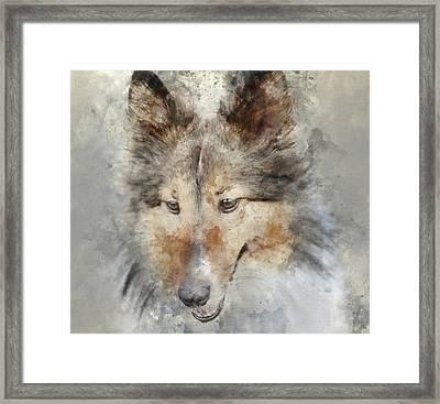 Sheltie - Digital Art Watercolor Framed Print by Brandon Bourdages