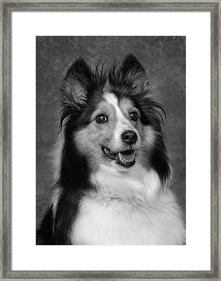 Sheltie In Black And White Framed Print