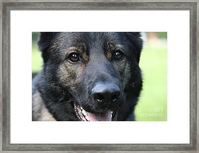 Shepherd Closeup Framed Print by Karol Livote