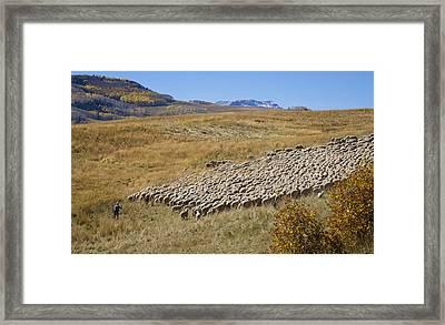 Shepherd Moving The Flock - Telluride Colorado Framed Print