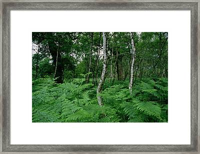 Sherwood Forest Framed Print by Unknown