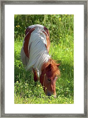 Shetland Pony And Buttercups Framed Print by Sharon Talson