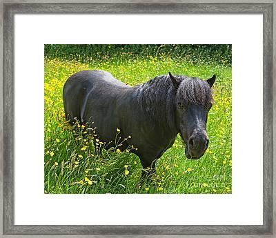 Shetland Pony Framed Print by Chris Smith
