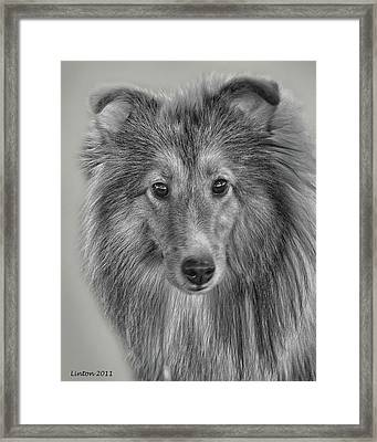 Shetland Sheepdog Framed Print by Larry Linton