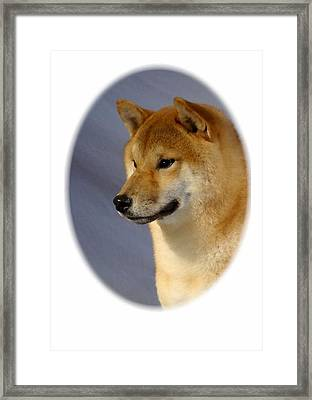 Shiba Inu 566 Framed Print by Larry Matthews