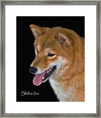 Shiba Inu Framed Print by Larry Linton