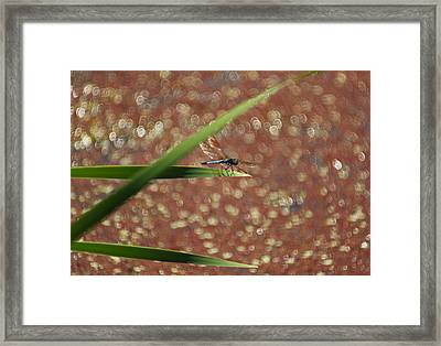 Shimmerbug Framed Print by Suzanne Gaff