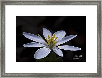 Shimmering Petals Framed Print