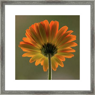 Shine Bright Gerber Daisy Square Framed Print by Terry DeLuco