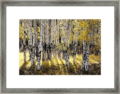 Shining Aspen Forest Framed Print