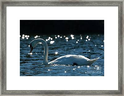 Framed Print featuring the photograph Shining Swan by Michelle Wiarda