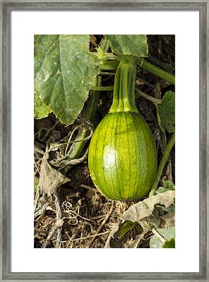 Framed Print featuring the photograph Shiny Squash by Christi Kraft