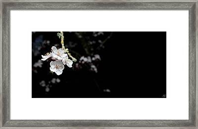 Shiroi Sakura Framed Print