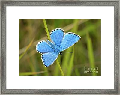 Shocking Blue Butterfly Framed Print