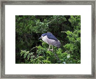 Shore Bird Roosting In A Tree Framed Print